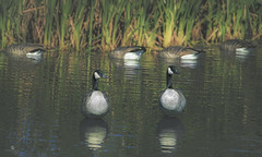 2 up 4 down (rockinmonique) Tags: 52in52 geese bird water reeds reflections fall autumn funny moniquew canon canont6s tamron copyright2016moniquewphotography