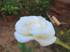 rose (Rodrigo Ribeiro) Tags: nature natureza flor flower garden gardening jardim jardinagem rose rosabranca rosa