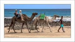 Camel Ride (Fermat48) Tags: caletadefuste fuerteventura canaryislands camels selfie beach fishingnet atlanticsea canon sigma18200mm eos40d