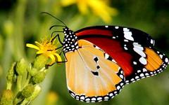 Monarch butterfly on wildflower (maria xenou~photodromos~) Tags: butterfly monarchbutterfly schmetterling nature natur canoneos1100d moments momente colourful wildflower wildlife details πεταλουδα χρωματα στιγμεσ ελλαδα μεσογειοσ λεπτομερειεσ mediterranean mittelmeer garten monarchfalter μοναρχησ simbiosis photodromos φωτοδρομοσ μαρια ξενου macro life leben insect insekt perfect loveliness ομορφια χλωριδα πανιδα πελοποννησοσ wings fly danauschysippus kleinermonarch africanmonarch animal existence environment