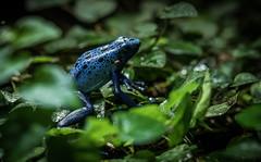 croak ( - Ralf) Tags: karlsruhe tier tiergarten umwelt zoo animal theworld frog frosch