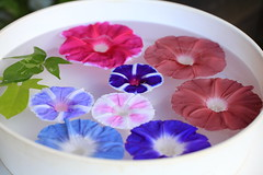 Japanese morning-glory / Ipomoea nil / 朝顔(あさがお) (TANAKA Juuyoh (田中十洋)) Tags: morningglory ipomoea nil 朝顔 あさがお アサガオ 紫 むらさき purple taxonomy:binomial=ipomoeanil