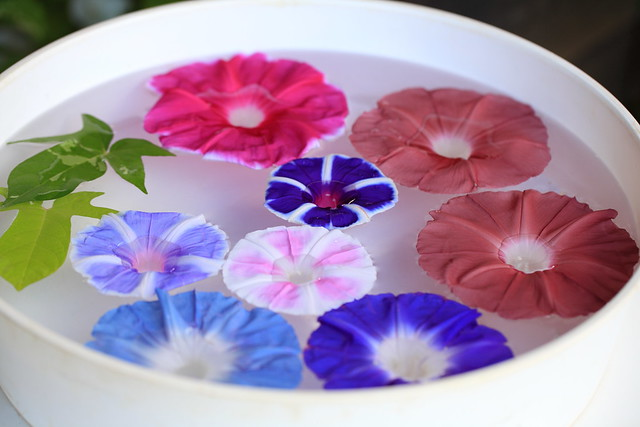【色別】朝顔の花言葉とその由来・怖い|紫・青・白・ピンク・赤