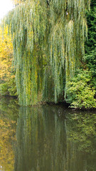 Autumn colours, reflection: willow by a canal (Dave_A_2007) Tags: autumn canal leaf nature plant reflection tree water willow wolverhampton england
