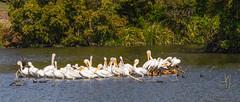 American White Pelicans_MG_0010 (3Bs7Gs) Tags: pelicans cormorant americanwhitepelicans dallas texas whiterocklakedallastexas wildlife lake wildbirds nature tamron70200f28lens adobelightroom colorandcolors wildlifeanimalsunlimited intenseanimals