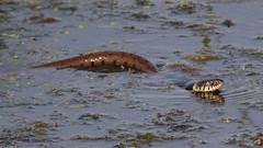 Grass Snake (markkilner) Tags: canon eos 7d dslr kent england kilner televue tv60 televue60 manualfocus telescope apo primefocus nature wildlife autumnwatch stodmarsh nnr marshhide snake grasssnake natrixnatrix