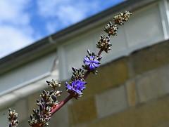 Aristea bakeri (dracophylla) Tags: royaltasmanianbotanicalgardens bluestars iridaceae aristeabakeri