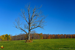 The Lonely Bare Tree of Arcade (DTD_0690) (masinka) Tags: arcade newyork unitedstates fall autumn colors bare blue sky etbtsy outdoors green wny western upstate nature