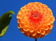 Perfection ....... (acwills2014) Tags: orange flower glow dahlia blue colour color vivid beautiful
