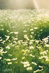 KEN_0643 (KenPhotographys) Tags: travelphoto travelasia travelphotograhy travelworld travel travelthejapan traveljapan tokyo landscape seetheworld snapshot snap scenery shinjuku shibuya flower flowers sky skyporn bluesky sunset cosmos