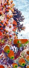 Colorful Sponges of Maldives (Nikita Hengbok) Tags: naturephotography fauna animals nature wildlifephotos wildlifepics wildlifephotography fishes marinecreatures marinecreaturesofmaldives macrophotography marineanimals marineanimalsofmaldives vacationinmaldives maldives sunislandresort tropicalparadise nalaguraidhooisland snorkelling snorkellinginmaldives corals coralsinmaldives sponges spongesinmaldives