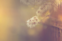 Ghosts (HFF) (Bokehschtig (ON/OFF)) Tags: fence fencefriday fencedfriday hff happyfencedfriday bokeh dof depthoffield dephtoffield shallowdepthoffield blurred soft matte pastel colour color flower sonya7 sonya7m2 sonyalpha7 sonyalpha7markii canon canonef7020028lisiiusm