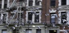 Urban Flight Pattern (Joe Josephs: 2,861,655 views - thank you) Tags: autumn centralpark fall fallcolor fallfoliage nyc newyorkcity travel travelphotography urbanparks landscape landscapephotography birds birdphotography birdsinflight pigeons city urbanlandscapes urbannewyorkcity