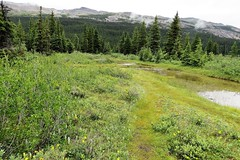 Boggy Area (Patricia Henschen) Tags: alberta canada bowlake bowglacier bowfalls bow lake nationalpark parks parcs icefieldsparkway banff banffnationalpark glacier glacial wetland bog orchid wildflower wildflowers mountain mountains rocky rockies northern clouds