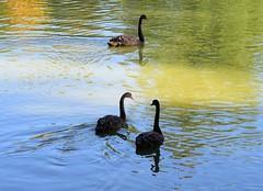 (:Linda:) Tags: germany bavaria franconia town coburg rosenaucastle park pond bird blackswan