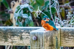 Kingfisher on a frosty morning (phat5toe) Tags: kingfisher alcedoatthis birds avian feathers wildlife nature wigan flashes greenheart nikon d300 sigma150500