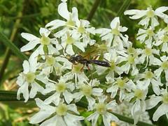 Ichneumon (bramblejungle) Tags: ichneumon hymenoptera