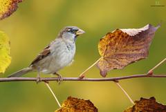 Moineau domestique  -  House sparrow (Maxime Legare-Vezina) Tags: bird oiseau nature wild wildlife animal fauna biodiversity ornithology canon fall automne