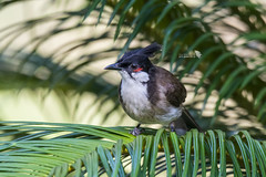 _DSC0267_LOGO (Ray 'Wolverine' Li) Tags: bulbuls bulbul pycnonotidae bird birds birding asia nature wild
