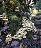 Mushrooms in Clyne (tybach) Tags: swansea clyne canon750d img2100
