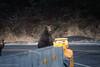 Go To Bed! (rishaisomphotography) Tags: cub bear grizzly brownbear kodiak alaska snow hibernate wild wildlife wildlifephotography nature naturephotographer babyanimal fuzzy furry cute carnivore omnivore predator twins