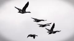 Canada Geese (Kurt Grenig) Tags: dark white wow nature new birds