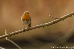 Roodborstje (Chantal van Breugel) Tags: vogels roodborstje waterloopbos marknesse noordoostpolder flevoland canon5dmark111 canon70300