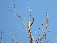 Gila Woodpecker - Arizona by SpeedyJR (SpeedyJR) Tags: 2016janicerodriguez sweetwaterwetlands tucsonaz gilawoodpecker woodpeckers birds wildlife nature tucsonarizona arizona speedyjr