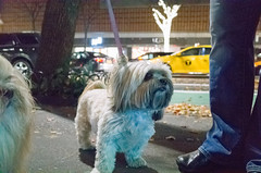 Chloe, Lhasa Apso (Charley Lhasa) Tags: ricohgrii grii 183mm 28mm35mmequivalent iso12800 secatf28 0ev aperturepriority pattern noflash r010676 dng uncropped taken161126190041 uploaded161201235856 3stars flagged adobelightroomcc20157 lightroomcc20157 adobelightroom lightroom charley charleylhasa lhasaapso dog chloe lhasaapsos dogs dogsmet sidewalk walk night evening upperwestside uws manhattan newyorkcity nyc newyork ny tumblr161201 httpstmblrcozpjiby2fnkzqz
