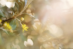 Little Yellow Flower (KiwiMiriam) Tags: yellow flower haze bokeh sunlight fuji xe2 mirrorless vintagelens vivitar 55mm