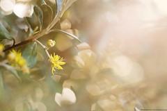 Little Yellow Flower (KiwiMiriam) Tags: yellow flower haze bokeh sunlight fuji xe2 mirrorless vintagelens vivitar 55mm