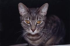 Serious Tako (meg williams2009) Tags: cutecat catportrait animal cats film picture pets animals cutecats funnycats beautifulcats feline kittens kitten