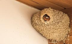 A swallow in its nest (Photosuze) Tags: barnswallows nests birds avians mudnests swallows aves animals nature wildlife hirundorustica