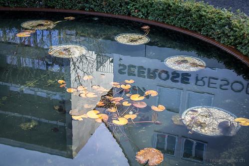 Die Seerose spiegelt sich im Brunnen