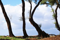 tree trunks (joybidge) Tags: trishcanada naturepatternscanada mauihawaii