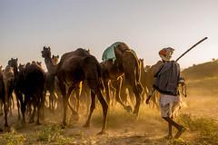 L1003280.jpg (Bharat Valia) Tags: pushkarfair bharatvalia desert rajasthanportraits bharatvaliagmailcom sheperd pushkarimages pushkarmela festivalsofindia camel pushkarcamelfair pushkar