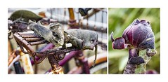 I think Spiders like Aubergine! (red stilletto) Tags: oakdenewinery oceangrove bellarinepeninsula garden gardens cobwebs rust rusty rusted bike bicycle flower plant famousflickrfive aubergine