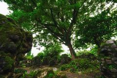 The Ruins (Hendraxu) Tags: ruin ruins tree green cagsawa legazpi bicol albay philippines destroyed history travel travelling photography samyang 14mm daraga