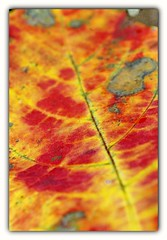 fall leaf (Reza Ganjehi) Tags: fallleaf fall leaf leaves fallcolored colored beautifulfallleaf autumnleaves autumn fallingdown falling down leavesturn autumncolours closeup interesting fieryred bright depthoffield colourful bokeh abstract colors colorful dof composition amazingseason october serene colourartaward wonderfulshot ego excapture autumnmood seasons vision trees albero leavesandtrees alberiefoglie leaftexture seasonschange beautiful colours texture feelthough autumnisasecondspringwheneveryleafisaflower fallfoliage yellowleaves brightredleaves oakleaves changecolor fallarrives brightleaves redleaves fallscenes mapleleaves brilliantfall colorfulfallenmapleleaves colorfulfallenleaves autumnglory mortonarboretum extraordinaryscenes extraordinary scenes