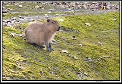 carybara (The_Jon_M) Tags: october 2016 oct october2016 blackpool zoo blackpoolzoo lancashire uk england animals capybara rodent