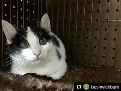 Shortstop has taken up residence at @bushwickbark, stop by to meet her. She's the last of her litter so she needs a friend! @harrisongreennyc #adoptthiskitten #kittensofbushwick #Repost @bushwickbark with @repostapp  Come by this weekend to meet our ne (Jimmy Legs) Tags: shortstop has taken up residence bushwickbark stop by meet her shes last litter she needs friend harrisongreennyc adoptthiskitten kittensofbushwick repost with repostapp  come this weekend our newest foster babe  bushwickcats