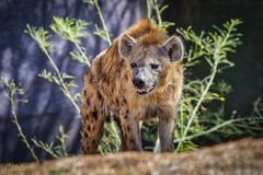 Hyena (blackhawk32) Tags: phoenixzoo hyena