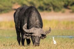 J19. Buffle d'Afrique - Chobe (Darth Jipsu) Tags: kasane northwestdistrict botswana bw chobe chobenationalpark buffledafrique buffle synceruscaffer africanbuffalo mammifère mammal afrique safari voyage savane
