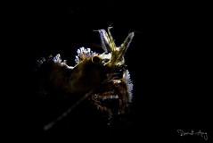 Backlit (Randi Ang) Tags: marble shrimp marbleshrimp saronmarmoratus saron marmoratus tulamben bali indonesia underwater scuba diving dive photography macro randi ang canon eos 6d 100mm randiang