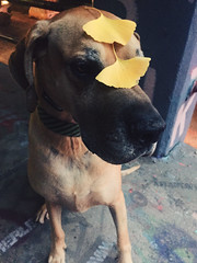 333/366 {Explored 11/30/2016} (moke076) Tags: 2016 365 366 project366 project 365project project365 oneaday photoaday vsco vscocam cell cellphone iphone mobile great dane dog animal moose leaves leaf ginkgo biloba yellow fall autumn krog tunnel walk explore explored
