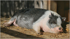 Sausage (Taking pics, and eventually posting them!!!) Tags: canon eos 70d pspx9 paintshopprox9 efex triplecfarm 55250mm efs55250mmstm sausage animal pig sunbathing farm canada ontario