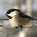 "chickadee-0051-.jpg • <a style=""font-size:0.8em;"" href=""http://www.flickr.com/photos/18570447@N02/9071352921/"" target=""_blank"">View on Flickr</a>"
