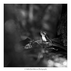 Monsoon's here (sakthi989) Tags: blackandwhite bw india art perspective creative frog tamilnadu coimbatore bronzedfrog valparaijune2013