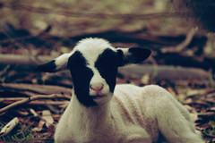 Lamb (Kya Cookie) Tags: cute animal animals sheep cuddly lamb babyanimals babysheep