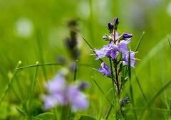 lila Blüten (thomaskappel) Tags: lila blten